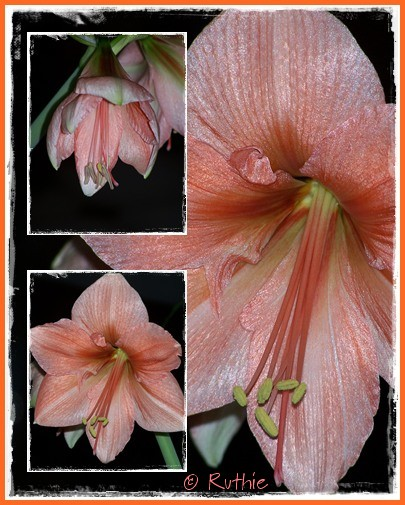 amaryllis-orange