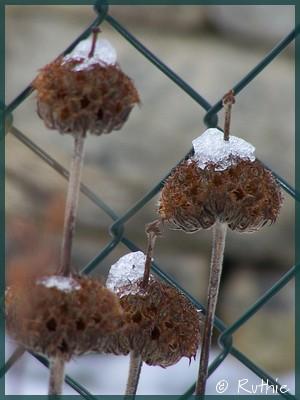 winterblumen