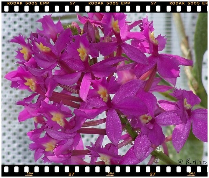 orchidee-pink