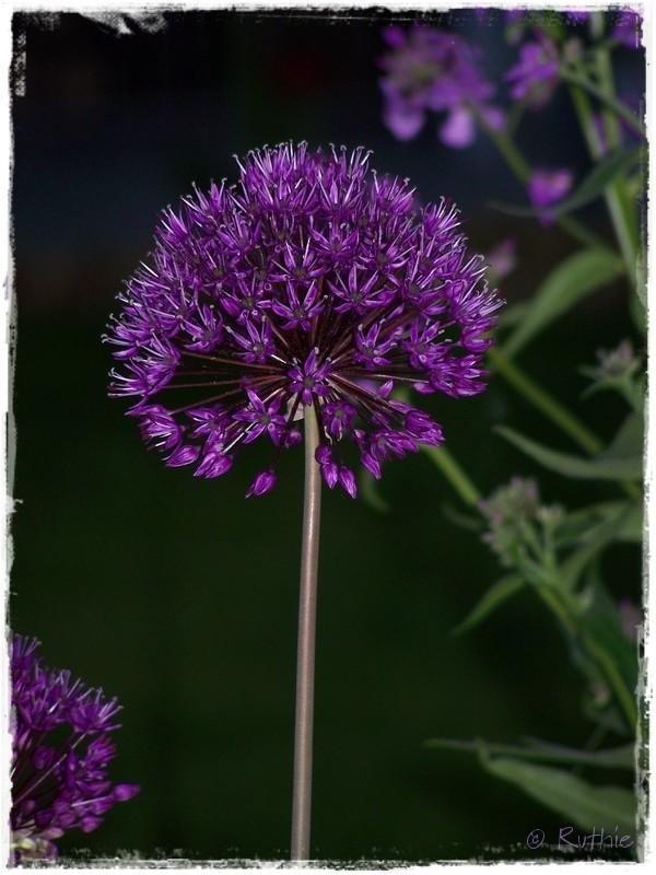 Zierlauch, lila