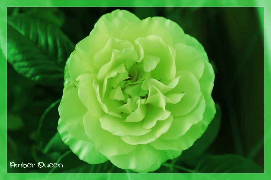 Amber_Queen, grün