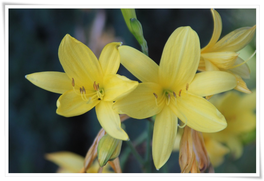 Sommerblumen 2013   22.06.2013 003