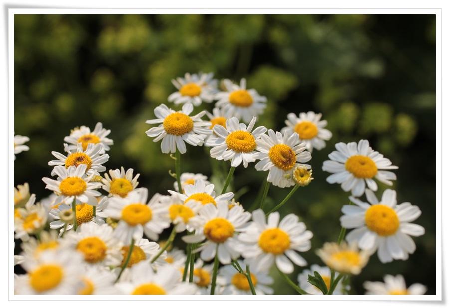 Sommerblumen 2013   22.06.2013 026